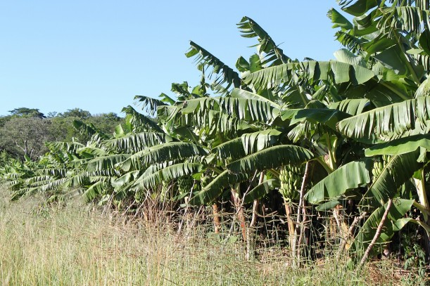 The farm's most recent banana plantation.