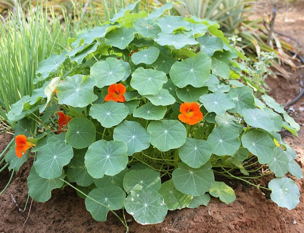 Nasturtiums in our vegetable garden.