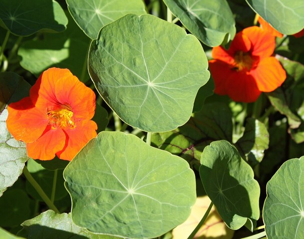 Edible nasturtium flowers and leaves.