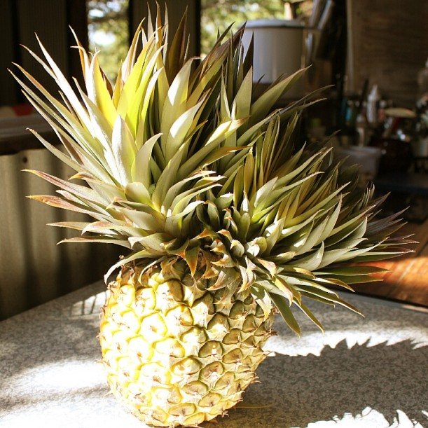 A boon: the four-headed monster. This pineapple rendered 48 new babies, as opposed to the normal 12!