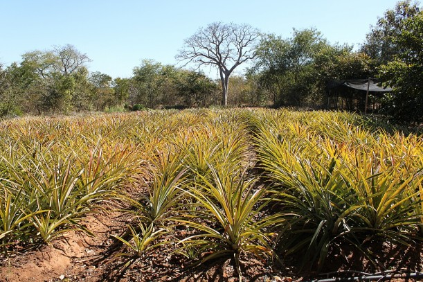 Our pineapple plantation in the early afternoon light.