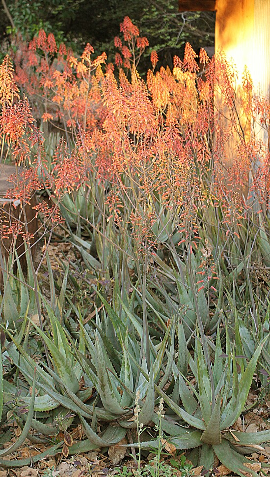 The flowering aloes outside my office at sunset.