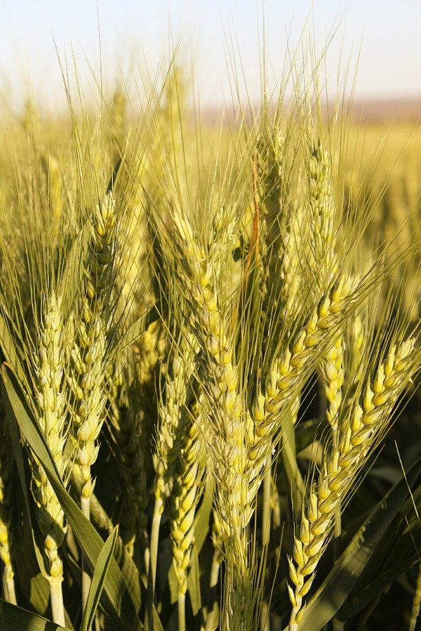 The wheat, changing from green to brown, on the farm.