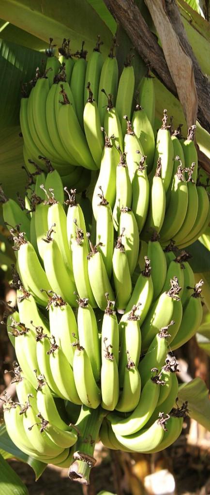 Bananas: a big-hearted tropical fruit.