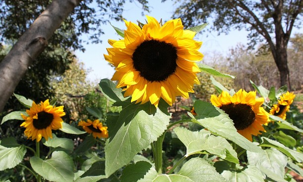 Blooming sunflowers to help attract the pollinators.