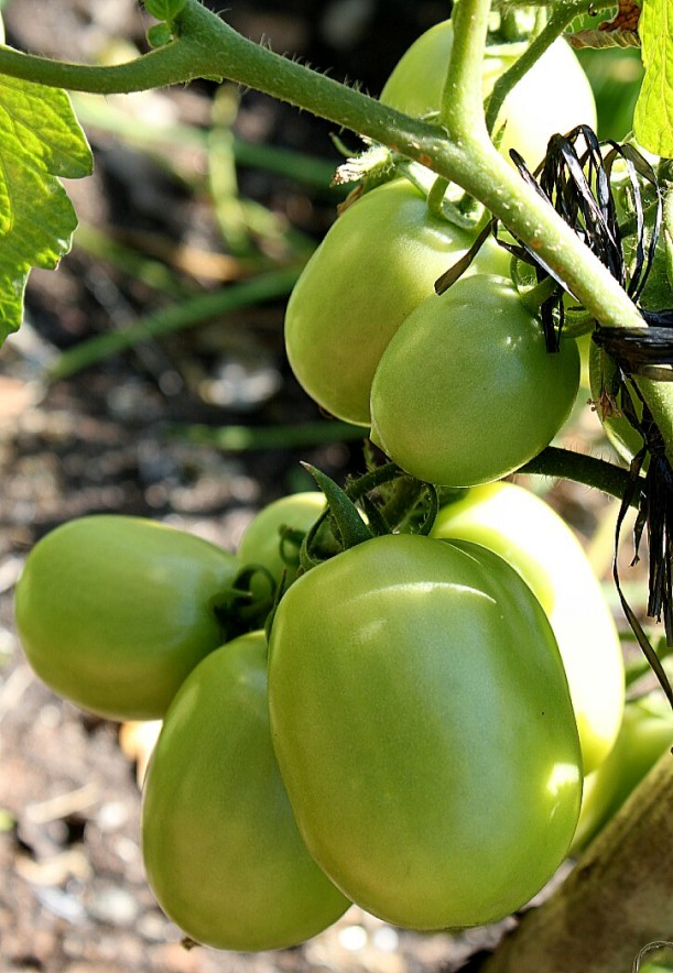 Green Roma tomatoes soon to be ripe for our sauces.