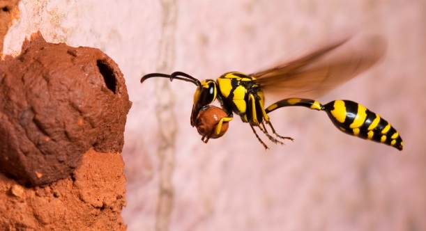 Mud wasps, like these, turned our electric hand mixer into two towers of condos. © Natasha Mhatre