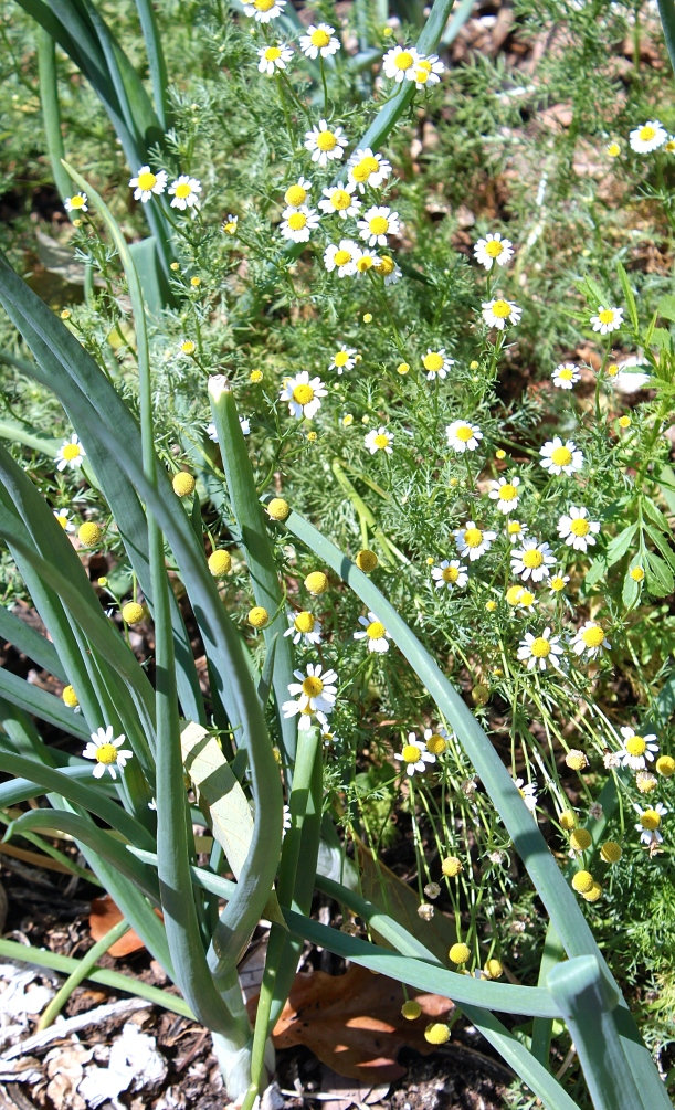Chamomile, as a companion plant, improves the flavor of onions.