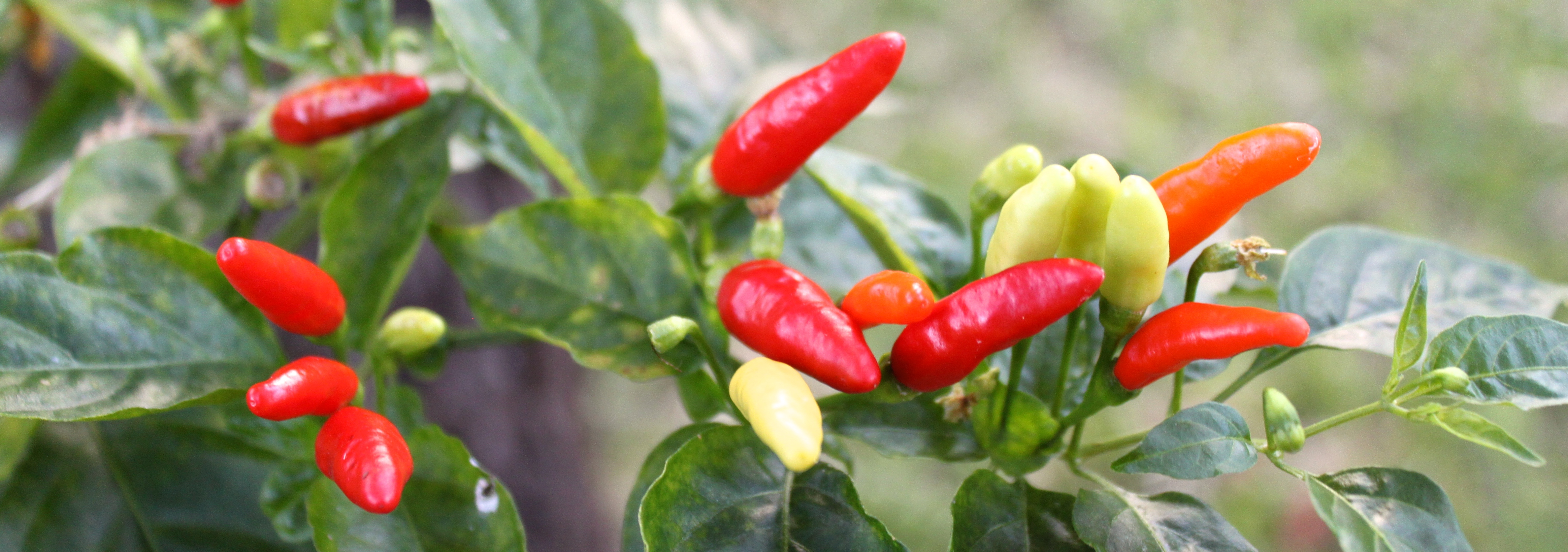Our chillies seem to be producing the year round, although summer is when they thrive.