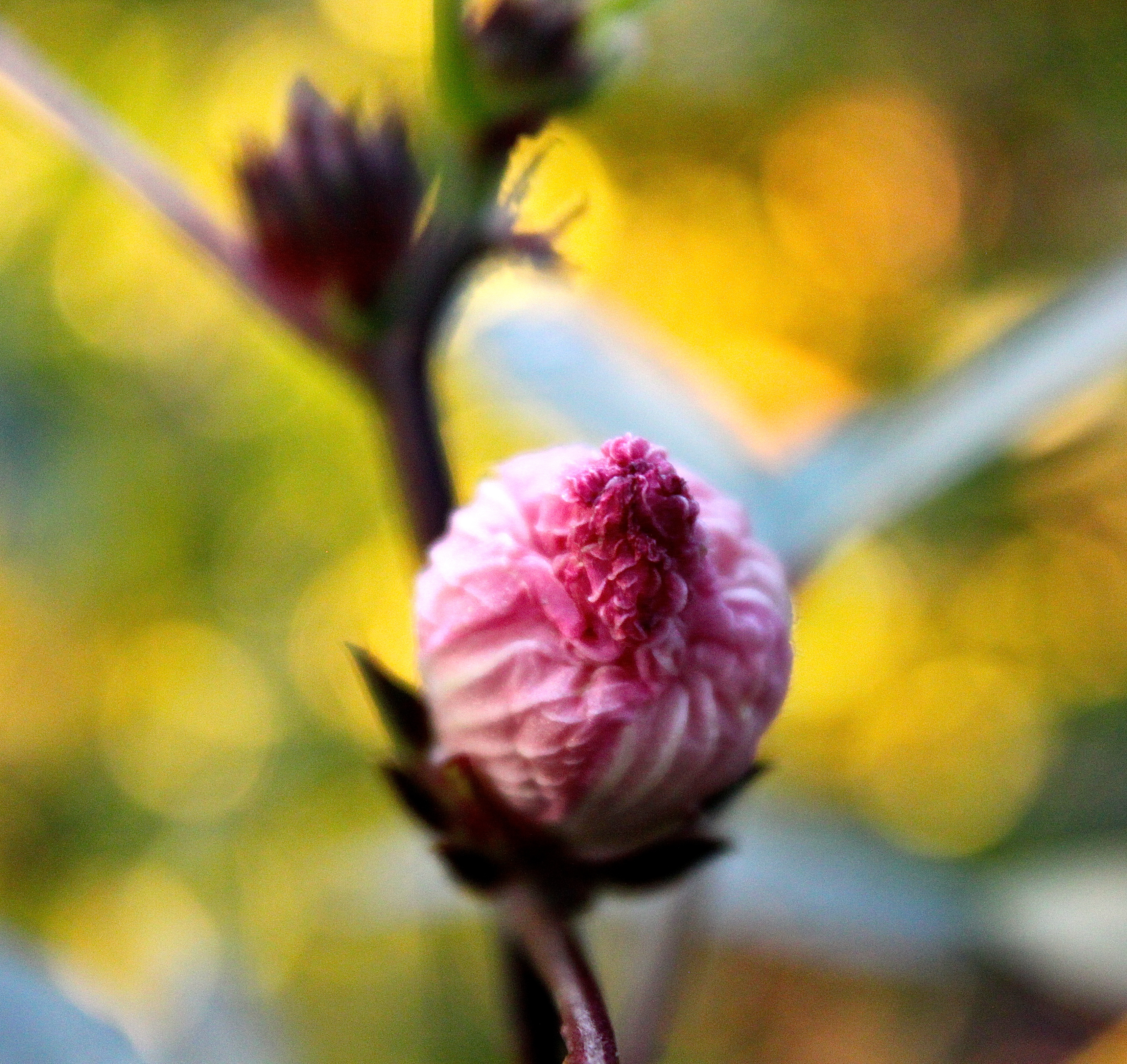 An emerging rosella flower.