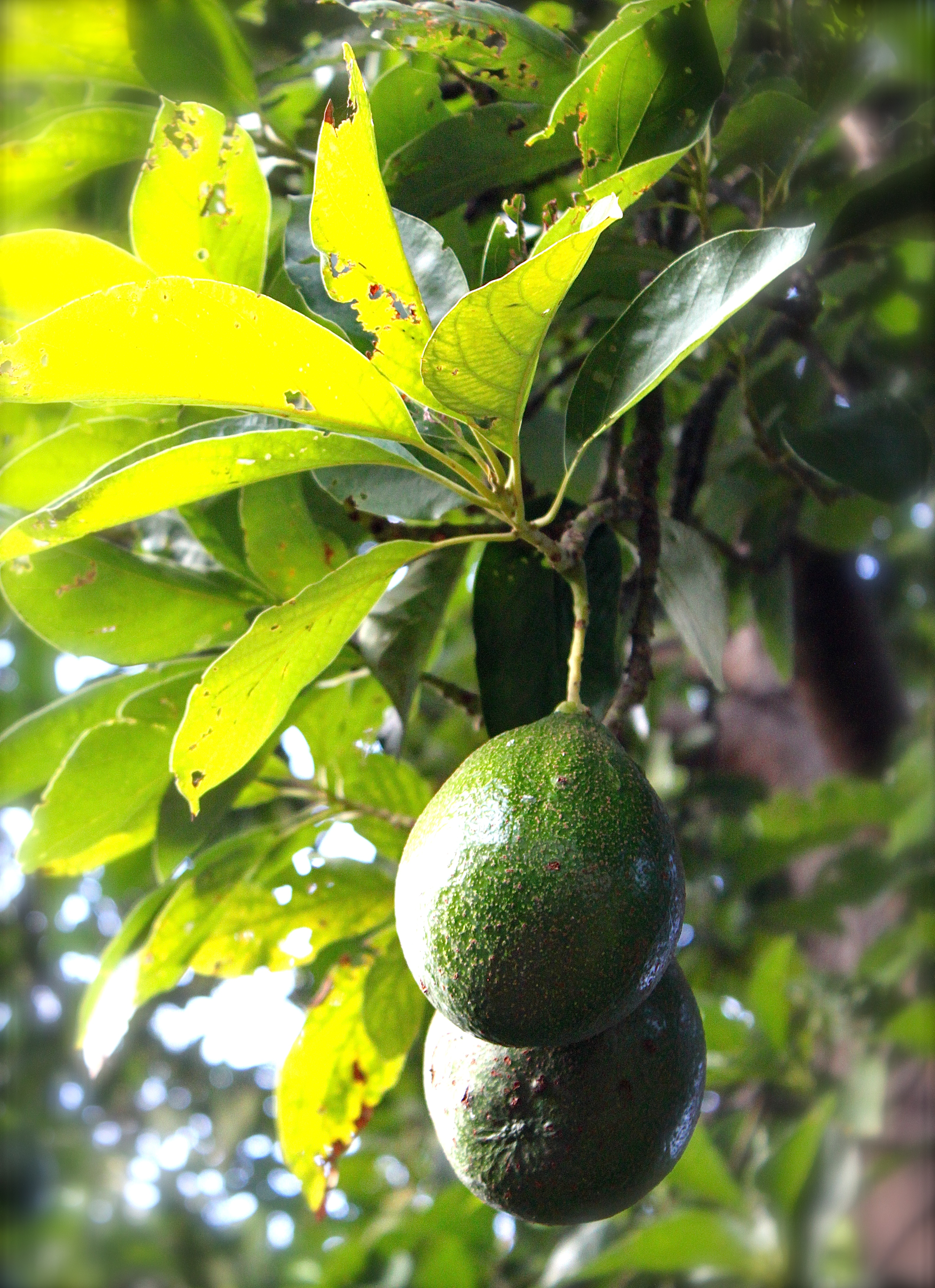Our avocado tree has suddenly started producing in the last three years, which makes us very happy!