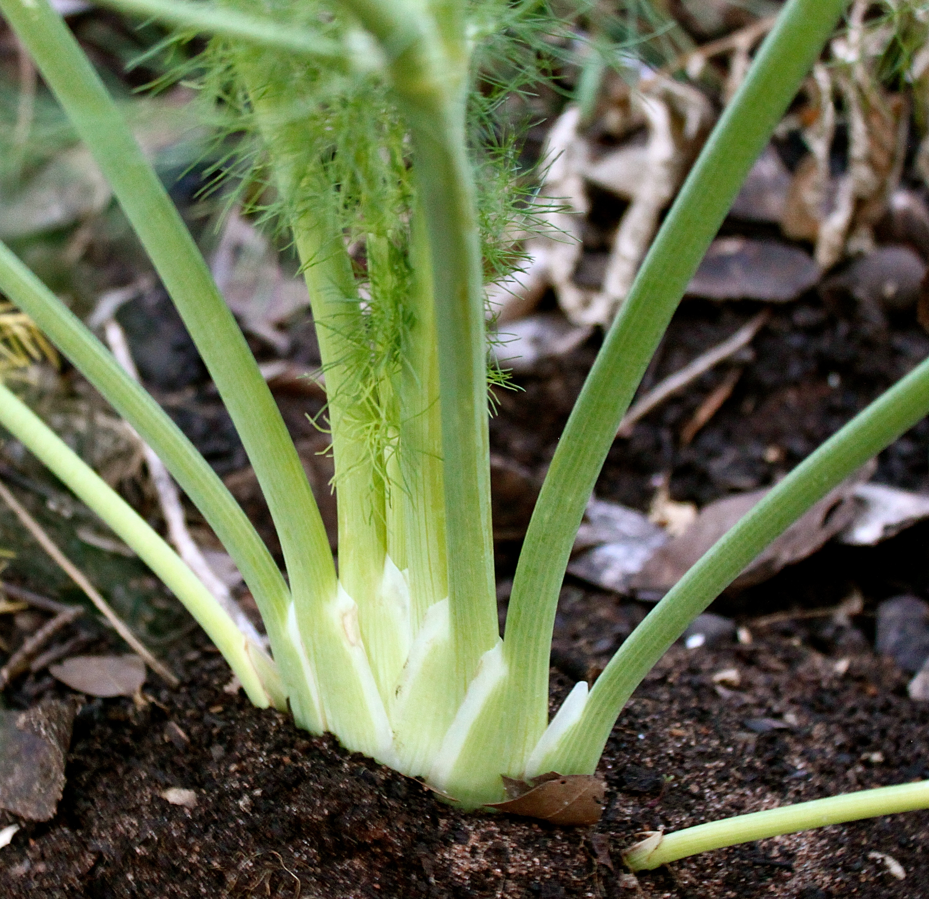Fennel bulb, which I use in so many of my salads.