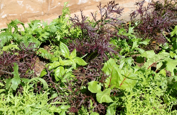 An array of lettuces with basil, beets, carrots and onions as companions.