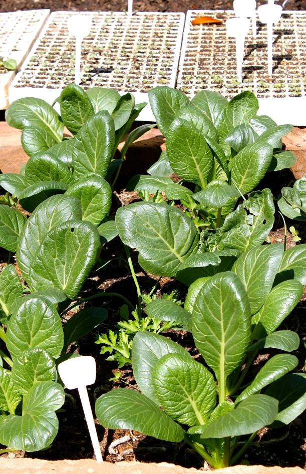 Japanese spinach, Komatsuna.