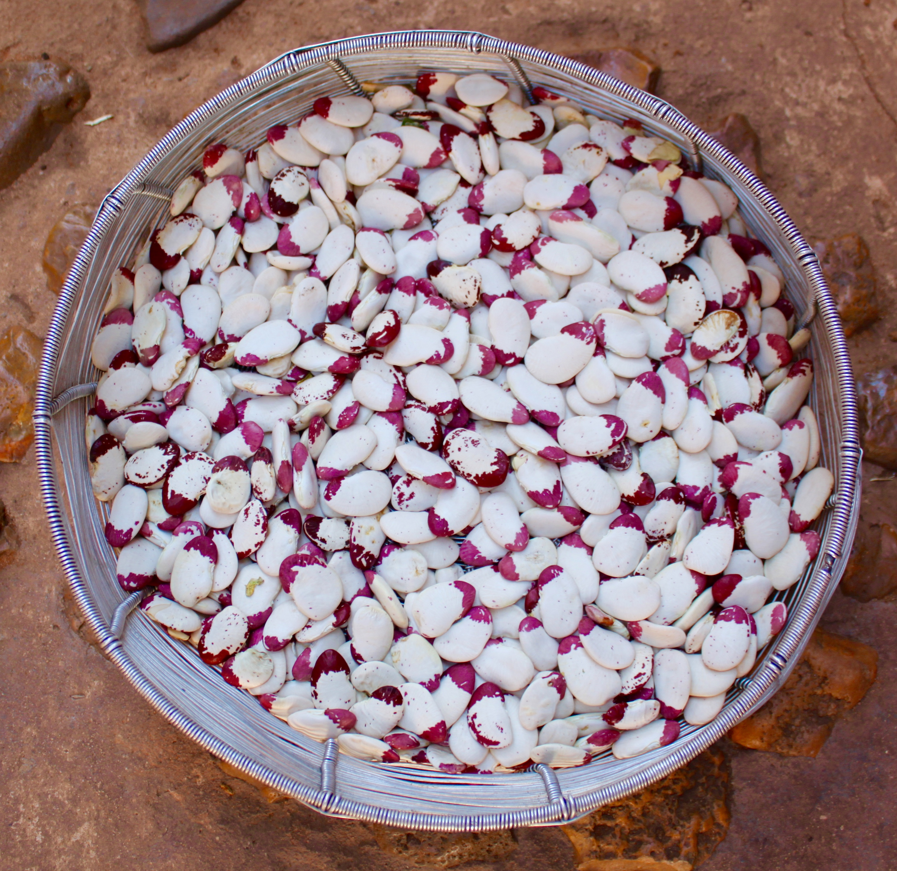 Dried lima beans, which are left in their pods on the vine to die before being picked.